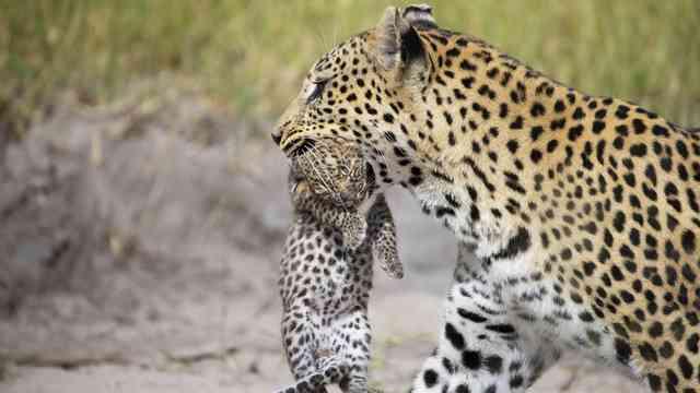 Tubu Leopard Suzi  8