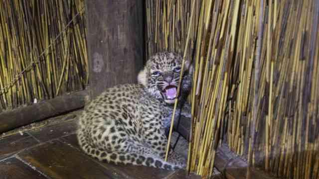 Tubu Leopard Suzi  15