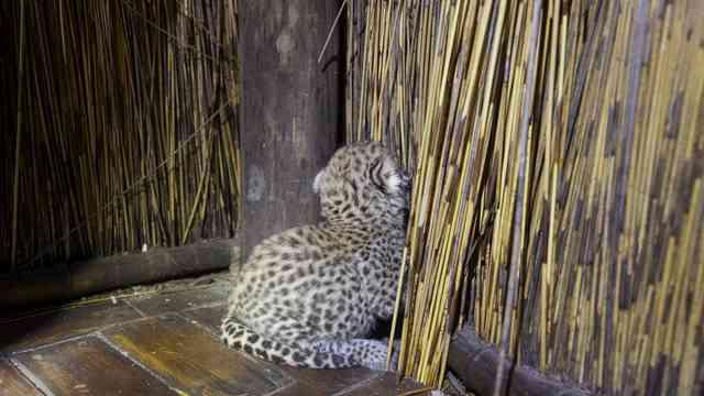 Tubu Leopard Suzi  16
