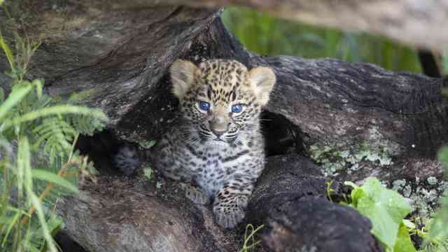 Tubu Leopard Suzi  46