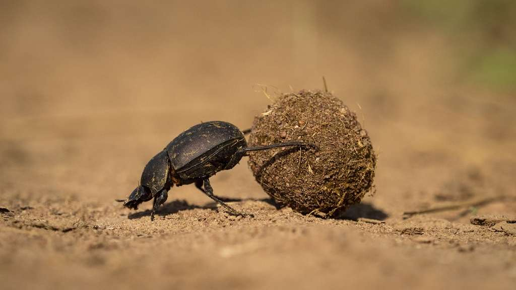 10 Facts About Dung Beetles   Wilderness Safaris